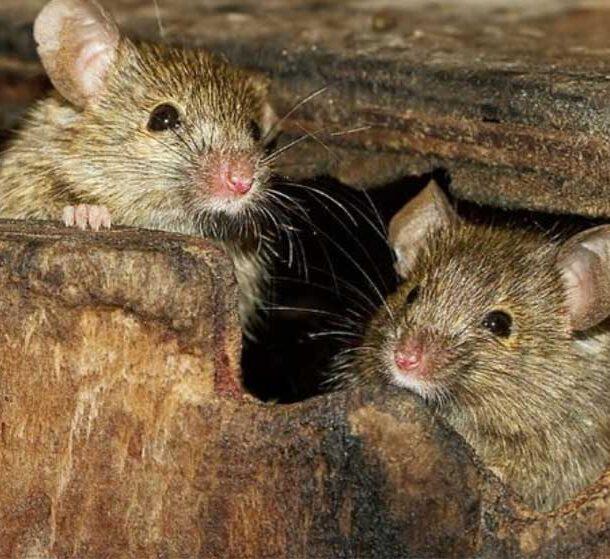 Rodent Proofing – Pro Attic Restoration